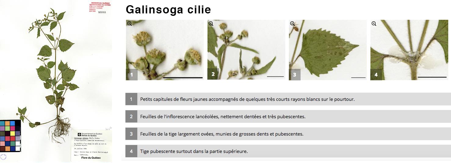 Galinsoga cilié
