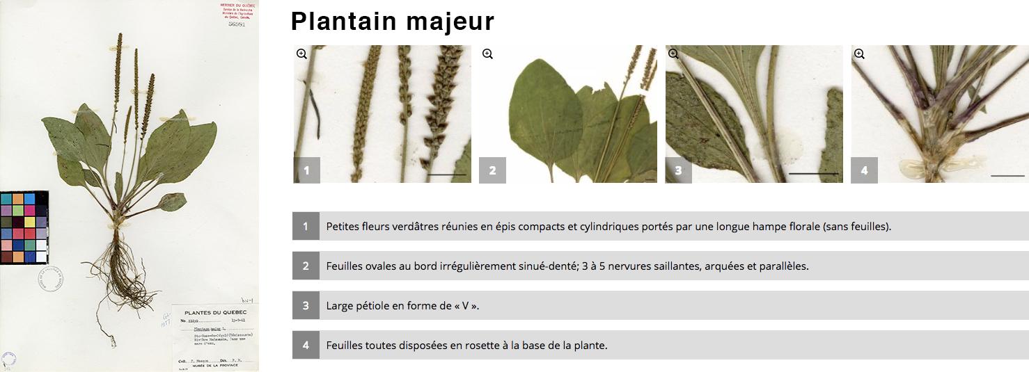 Plantain majeur